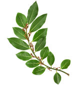 Branch of fresh bay laurel leaves isolated on white — Stock Photo