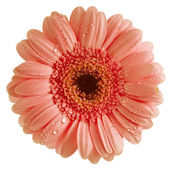 Colorful Gerbera flower head isolated on white background — Stock Photo