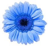 цветок гербера с водой падение изолированные на белом фоне — Стоковое фото