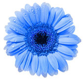 Gerbera kwiat z wody kropla na białym tle na białym tle — Zdjęcie stockowe