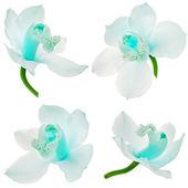 Colección instalaron del cierre de orquídeas phalaenopsis aislado sobre fondo blanco — Foto de Stock