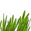 Green wheat grass close up macro shot — Stock Photo #25339997