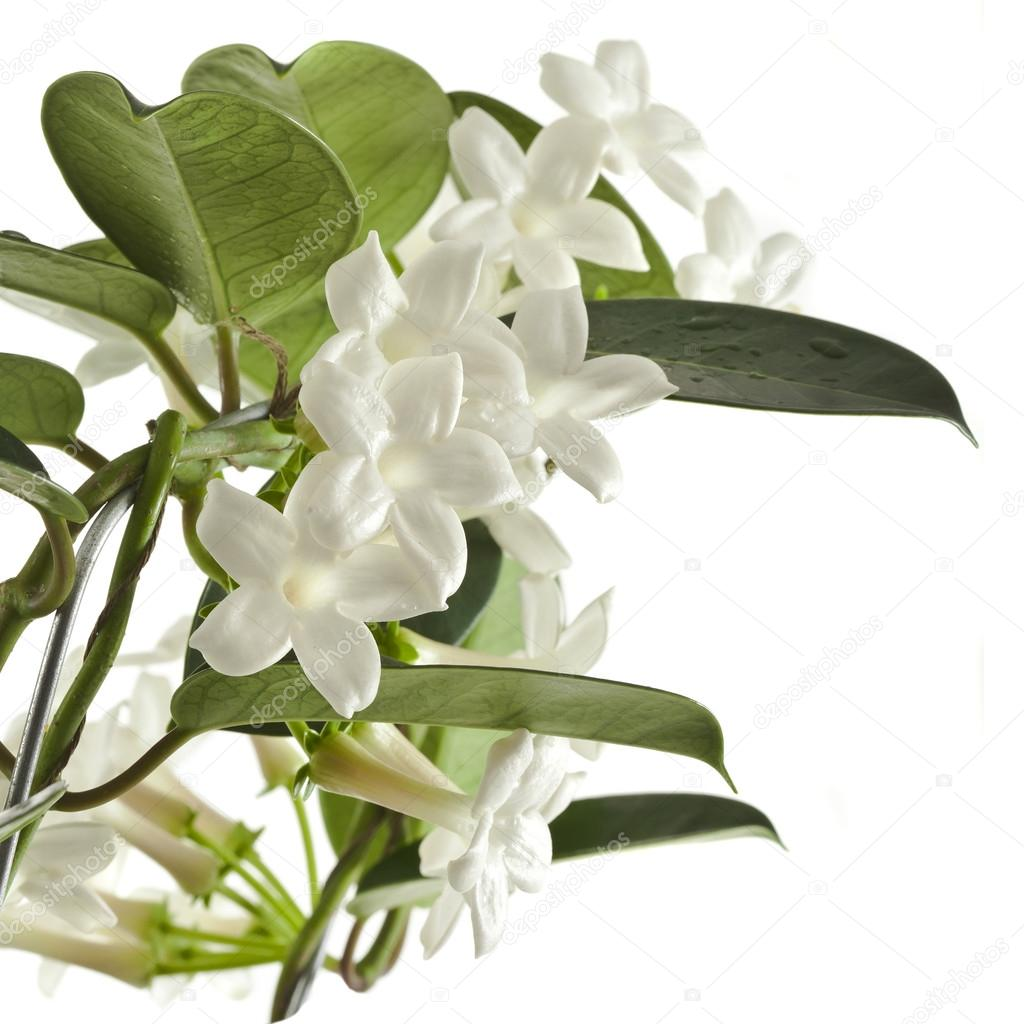 Planta de jazm n stephanotis foto de stock madllen for Jazmin planta precio