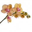 Beautiful flower Orchid — Stock Photo #25340115