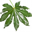 Stock Photo: Leaf Fatsijaponica