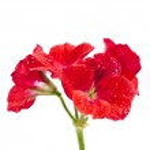 Red geranium flower — Stock Photo #25340861