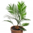 Palm tree — Stock Photo