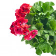 Red geranium flower — Stock Photo