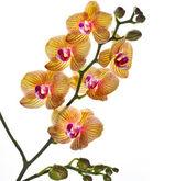 Beautiful flower Orchid — ストック写真