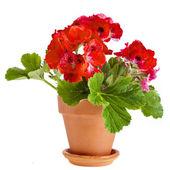 Flores de geranio roja en una cazuela de barro — Foto de Stock
