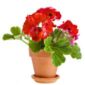 Red geranium flower in a clay pot — Zdjęcie stockowe
