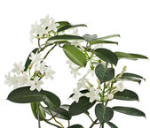 Jasmine Stephanotis plant — Stock Photo