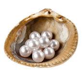 Mořské mušle s hodně perly — Stock fotografie