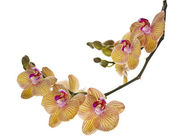 Beautiful branch flower Orchid — Stock Photo