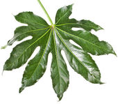 Leaf Fatsia japonica — Stock Photo
