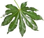 Leaf Fatsia japonica — Stock Photo