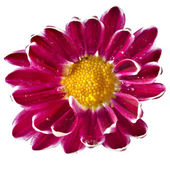 One daisy head — Stock Photo