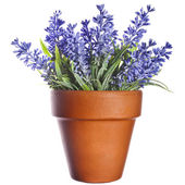 Lavender plant in pottery terracotta clay pot — Stock Photo