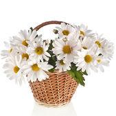 Chrysanthemum flower daisy — Stock Photo