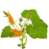 Pumpa växten med blomma inredning — Stockfoto