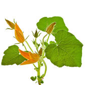 Pumpkin plant with flower decor — Stock Photo