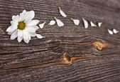 Nice blossom of daisy on old wooden texture background — Stock Photo