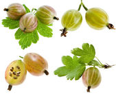 Collection set of gooseberry with leaves — Stock Photo