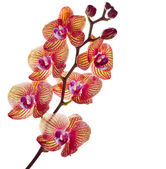 Beautiful flower Orchid — Stock fotografie