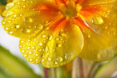 Yellow blossom of primula flower — Stock Photo