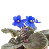 Saintpaulia African Violet house plant flower — Stock Photo