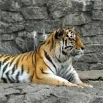 Tiger lying — Stock Photo #26457729