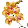 Beautiful colorful flower Orchid — Stock Photo #26457749