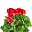 Stock Photo: Red geranium flower