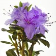 Blooming Rhododendron (Azalea) - Stock Photo