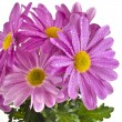 Beautiful bouquet of pink chrysanthemum flower daisy — Stock Photo