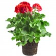Red geranium flower in soil box - Stock Photo