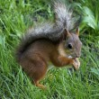 Summer squirrel with a nut in green grass — Stock Photo