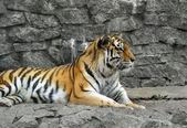 Tiger lying — Stock Photo