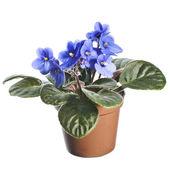 Saintpaulia African Violet house plant flower — Stock Photo