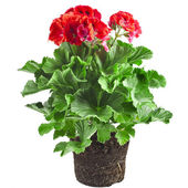 Red geranium flower in soil box — Stock Photo