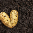 Heart shaped potato lying on the garden soil background in bright daylight — Zdjęcie stockowe