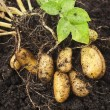 Potato plant with tubers in soil dirt surface — Stock Photo #28461967