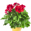 Stock Photo: Red geranium flower in soil box close up isolated on white background