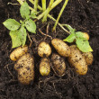 Stock Photo: Fresh potato vegetable with tubers in soil dirt surface background