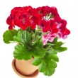 Red geranium flower in a clay pot isolated on white background — Stock Photo