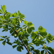 Green chestnut tree branch on a sunny blue sky — Stock Photo
