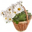 Bouquet of beautiful daisies flowers in a basket isolated on a white background — Stock Photo