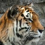 Tiger face close up — Stock Photo #28462723
