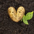 Heart shaped potato lying on the garden soil in bright daylight — ストック写真