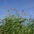 High reed bulrush on blue sky in a sunny summer day — Stock Photo